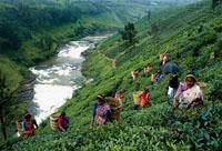 Шри-Ланка сбор чая